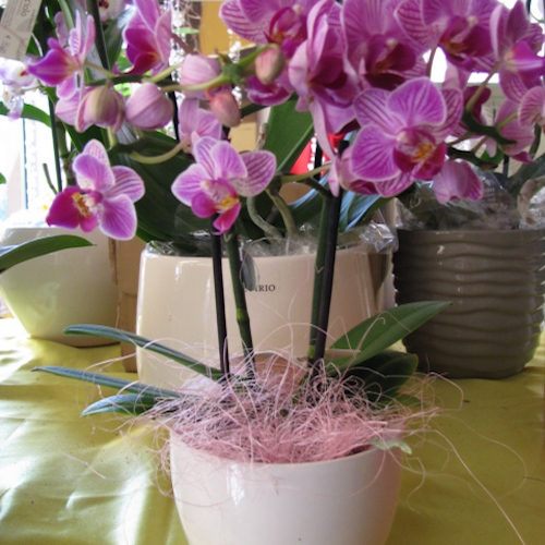 Pianta di orchidea al bocciolo for Orchidea pianta
