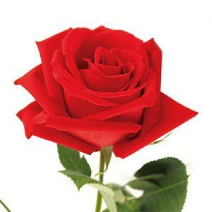 rose-500x500